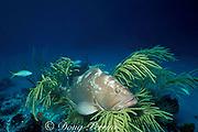 red grouper,<br /> Epinephelus morio, <br /> Little Bahama Bank. Bahamas <br /> ( Western Atlantic Ocean )