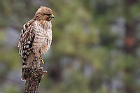 Hawk in Yosemite Valley. Winter in Yosemite National Park, California. Image taken with a Nikon D3s and 70-200 mm VR lens + TC-E II teleconverter (ISO 800, 400 mm, f/8, 1/250 sec).