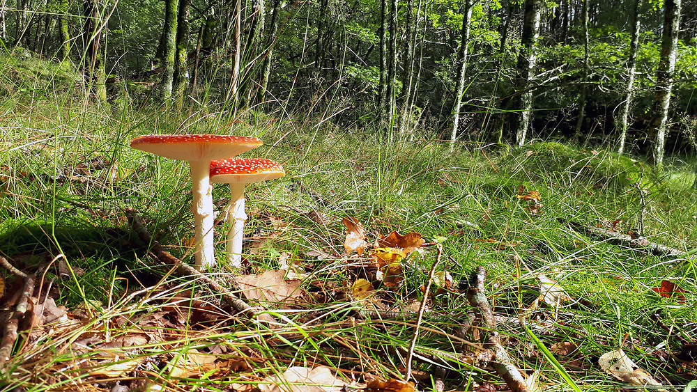 Fly Agaric (Amanita muscaria) from south-western Norway.