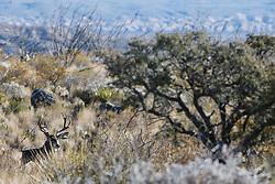 Mule deer (Odocoileus hemionus), Big Bend National Park, Texas, USA.