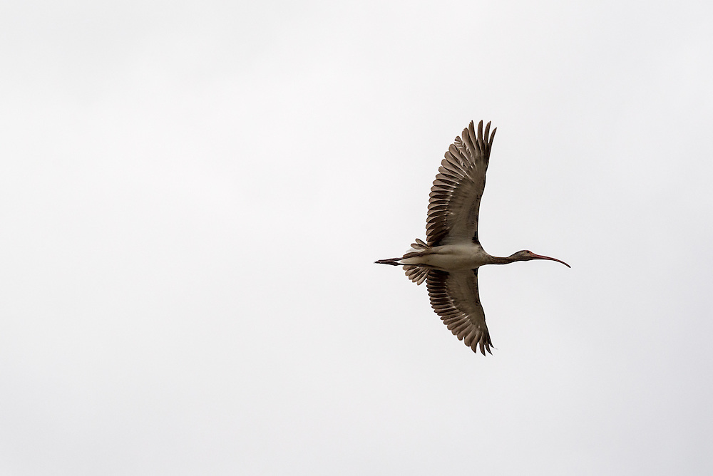 A young ibis, which will eventually turn all white, flies above the Everglades
