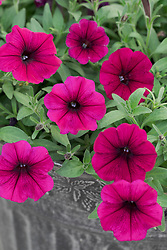 Petunia F1 'Shock Wave Deep Purple'