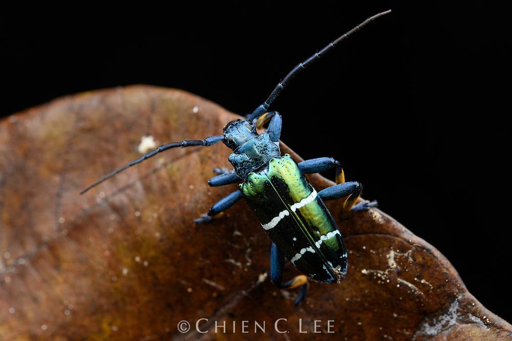 Longhorn beetle (Sphingnotus mirabilis). Waigeo Island, West Papua, Indonesia.