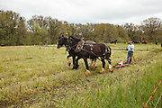 USA, Oregon, Champoeg State Park, Duane Van Dyke, President of the Oregon Draft Horse Breeders Association, Shire team moving to its starting spot in the plowing competition, MR