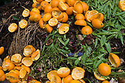 Fruit and veg waste rotting in a south London compost bin. The bright orange colour contrasts with the green vegetable matter stored in this bin storing organic material in an inner-city farm that promotes the organic and natural philosophy. The compost reduces down to help feed a new generation of food being grown for public consumption.