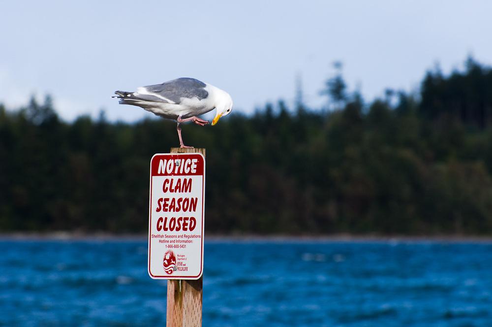 Glaucous-winged gull (Larus glaucescens), April, afternoon light, clam season closure sign, Oak Bay County Park, Jefferson County, Olympic Peninsula, Washington, USA