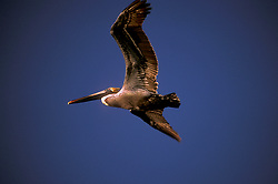 Stock photo of a Brown Pelican (Pelecanus occidentalis) flying through the air