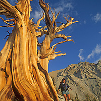 A hiker scrambles below an ancient, wind-twisted Bristlecone Pine snag in the White Mountains near the Nevada/California border.  Behind is 13,140' Boundary Peak, highest mountain in Nevada.