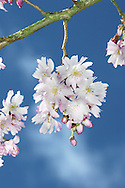 Winter Cherry Prunus x subhirtella 'Autumnalis' is a common cultivar of Spring Cherry P subhirtella, unusual in that it flowers throughout winter, from October to April.