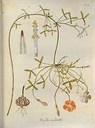 Woodsorrel (Oxalis reclinata). Illustration from 'Oxalis Monographia iconibus illustrata' by Nikolaus Joseph Jacquin (1797-1798). published 1794