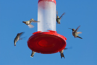 Hummingbirds at feeder; most are Anna's hummingbird, Calypte anna. Santa Cruz Mountains, California.