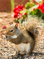 A squirrel stops by for a quick snacking grabbing some seeds from the garden bed that had fallen from the feeder above