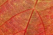 Red Car Wine's La Boheme Pinot Noir Vineyard near Occidental, in Northern California's Sonoma Coast Appellation.