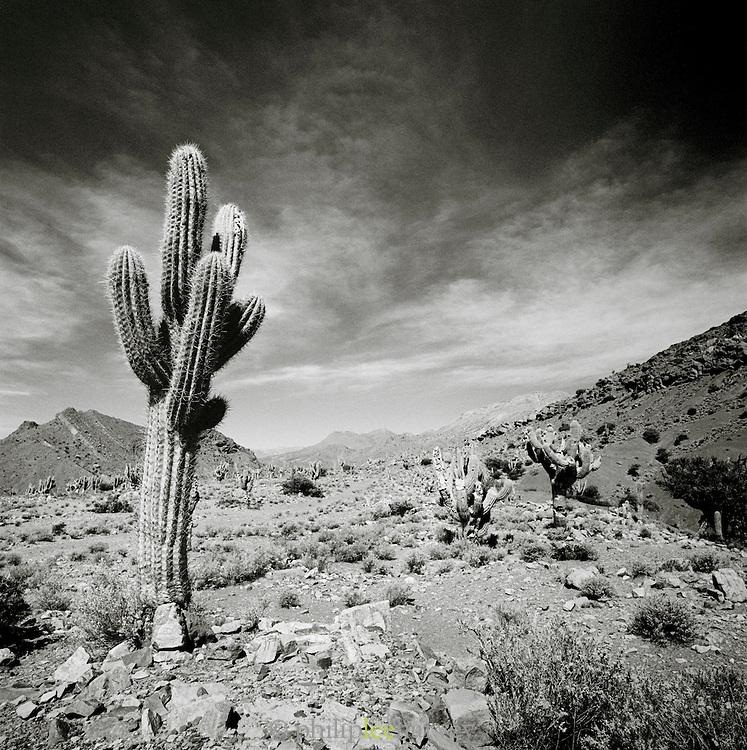 Cactus in arid, desert environment, Potosi department, Bolivia