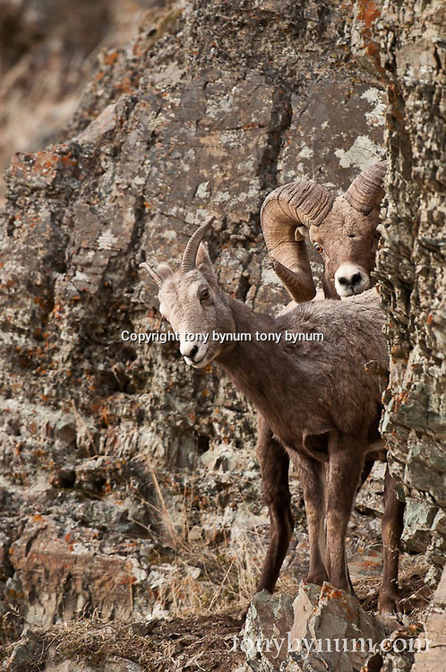 bighorn ram pins ewe in rocks on cliff rutting wild rocky mountain big horn sheep