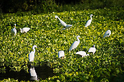 White ibis and great egrets stand among green aquatic plants in a lush freshwater wetland set back from the beach in Maruata Bay, Michoacan State, Mexico.