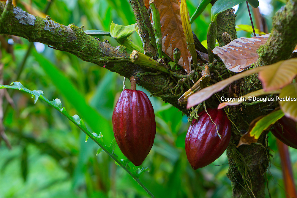 Cocoa Tree, Theobroma Cacoa, Hawaii Tropical Botanical Garden, Hilo, Hamakua Coast, Big Island of Hawaii