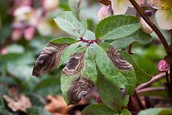 Hellebore leaf spot. Microsphaeropsis hellebori (syn. Coniothyrium hellebori)