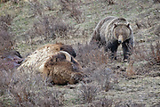 A grizzly bear, Ursus arctos horribilis, approaches a dead bison, to feed on its carcass, in Yellowstone National Park, Wyoming.