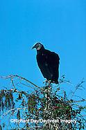 00781-001.14 Black vulture (Coragyps atratus) Everglades NP   FL