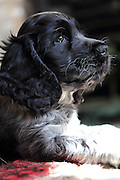 Henry the blue roan English cocker spaniel puppy