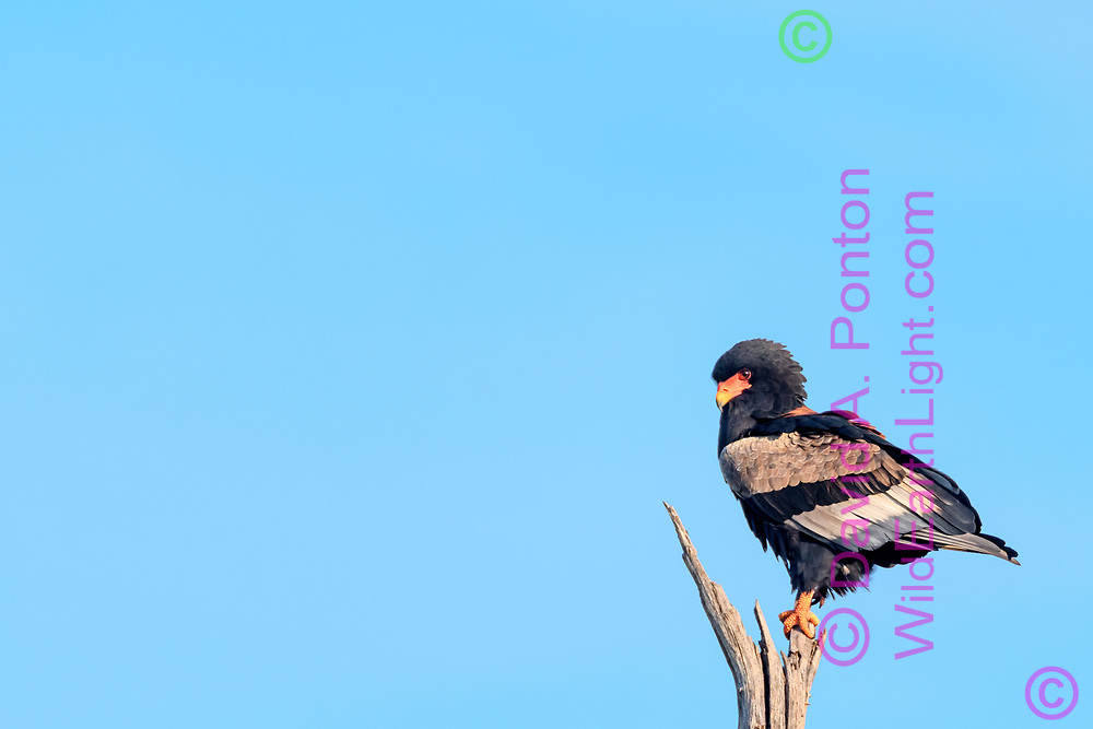 Bateleur perched on dead tree, Khwai Game Reserve, South Africa,