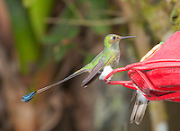 Male booted racket-tail, Ocreatus underwoodii, perched on a feeder at San Jorge Eco-Lodge, Tandayapa Valley, Ecuador