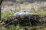 Female mute swan on nest, Donnington, The Cotswolds, Gloucestershire, England, United Kingdom