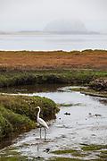 Great White Egret in the Morro Coast Audubon Society Sweet Springs Nature Preserve, Baywood Park, San Luis Obispo County, California, USA