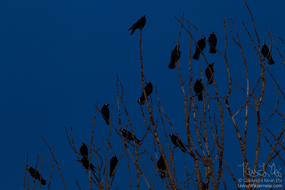 A murder of American crows (Corvus brachyrhynchos) roosts in a tree at twilight. A projected flash causes the birds' eyes to glow. A flock of crows is known as a murder.