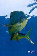 mahi-mahi, dorado, or dolphin fish, Coryphaena hippurus, large bull ( male ) with copepod parasites, Louisiana, U.S.A. ( Gulf of Mexico )