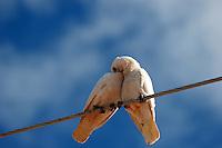 cockatoos sitting on Power lines