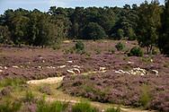 sheep for open land management in the flowering Wahner Heath, Troisdorf, North Rhine-Westphalia, Germany.<br /> <br /> Schafe zur Offenlandpflege in der bluehenden Wahner Heide, Troisdorf, Nordrhein-Westfalen, Deutschland.