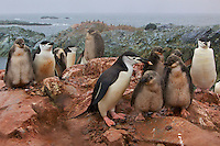 Chinstrap Penguin families (Pygoscelis antarctica).  Hydruga Rocks, Antarctica.
