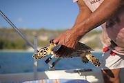Schnorchelnd suchen die Forscher nach Meeresschildkröten im Riff. Von hinten pirscht sich der Fänger frei tauchend an das Tier heran, um es dann überraschend zu greifen und an die Oberfläche zu bringen. An Bord eines kleinen Bootes werden die Tiere vermessen, gewogen und markiert. So können sie bei einem Wiederfang individuell erkannt und ihre Entwicklung beobachtet werden.