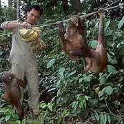 Orangutan, (Pongo pygmaeus) Ranger feeding bananas to juveniles in nursery of Sepilok Forest Rehabilitation Center. Borneo. Malaysia. Controlled Conditons.