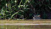 Jaguar (Panthera onca palustris) swimming in Cuiabá River, Pantanal, Brazil.