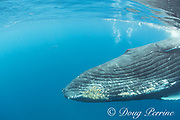 humpback whale, Megaptera novaeangliae, adult female comes in for a close look, A'u A'u Channel, off West Maui, Hawaii, Hawaii Humpback Whale National Marine Sanctuary, USA ( Central Pacific Ocean )