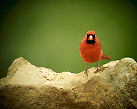 Male Northern Cardinal. Image taken with a Nikon D4 camera and 600 mm f/4 VR lens (ISO 250, 600 mm, f/4, 1/200 sec).