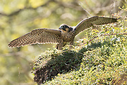 Peregrine (Falco peregrinus) juvenile stretching its wings. Sussex, UK.