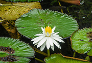 """A water lily, genus Nymphaea, blooms white & yellow in a pond at Allerton Garden, Kauai, Hawaii, USA. The genus name for water lilies, Nymphaea, is from the Greek nymphaia and Latin nymphaea, literally """"water lily,"""" inspired by the nymphs mythology. Allerton Garden is on the south shore of Kauai, Hawaii, USA, at address: 4425 Lawai Rd, Koloa, HI 96756. Nestled in a valley transected by the Lawai Stream ending in Lawai Bay, Allerton Garden is one of five gardens of the non-profit National Tropical Botanical Garden (ntbg.org)."""