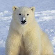 Polar Bear cub on frozen Hudson Bay. Canada
