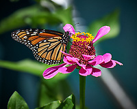 Monarch Butterfly on a Pink Zinnia Flower. Image taken with a Nikon Df camera and 80-400 mm VRII lens (ISO 140, 400 mm, f/5.6, 1/500 sec).