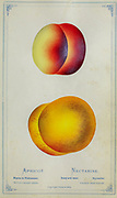Apricot and Nectarine Cultivar from Dewey's Pocket Series ' The nurseryman's pocket specimen book : colored from nature : fruits, flowers, ornamental trees, shrubs, roses, &c by Dewey, D. M. (Dellon Marcus), 1819-1889, publisher; Mason, S.F Published in Rochester, NY by D.M. Dewey in 1872