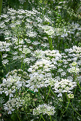 Ammi majus (Bishop's flower) with Orlaya grandiflora (White lace flower)