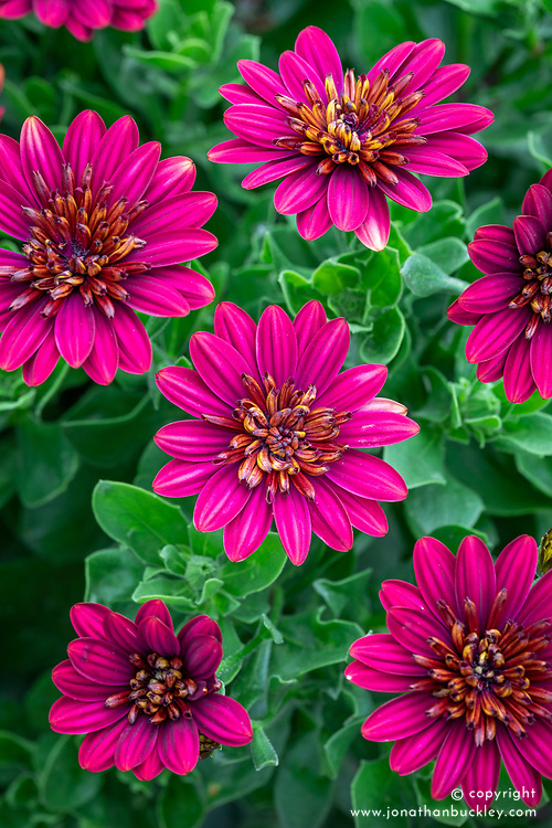 Osteospermum 'Special Erato Double Red' - African daisy