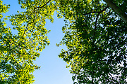 Canopy of Populus (AKA poplar, aspen, or cottonwood)  and the Old World sycamore (Platanus orientalis, AKA Oriental plane) on blue sky background