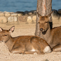 Japanese deer have become accustomed to tourists and wander freely on Miyajima Island in Hiroshima Prefecture, Japan.