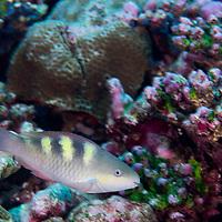 Five-saddle Parrotfish, Scarus scaber Valenciennes, 1840, Male, Maldives