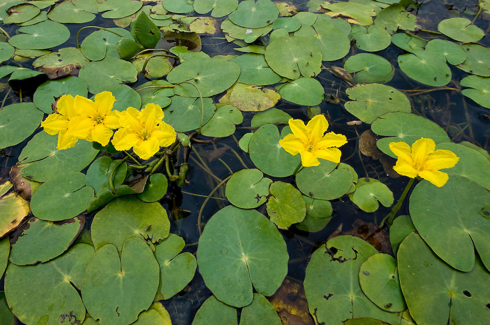 Yellow floating heart (Nymphoides peltata) fields, Hortobagy National Park, Hungary